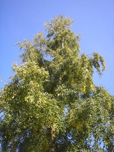 Silver birch.