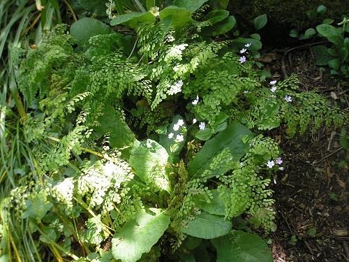 Maidenhair fern in the woodland.