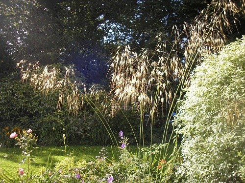 Stipa gigantea and Pittosporum