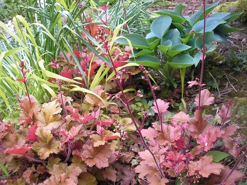 Heucheras are also looking good at the moment with all their new growth.