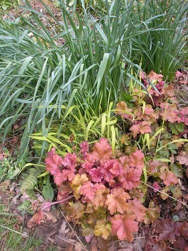 Heuchera and Millium effusum aureum are contrastin with Narcissus foliage.