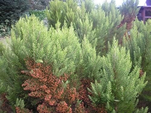 Tree heath