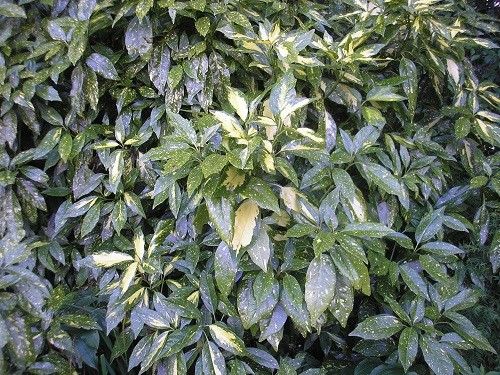 Variegated Laurel