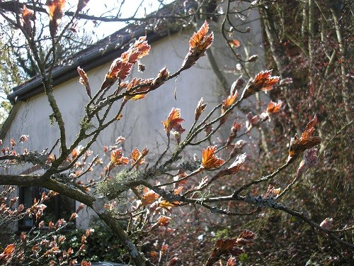 New growth on my tree that is a cross between an oak and a copper beech.