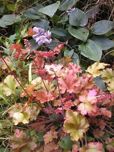 Heuchera and hosta.