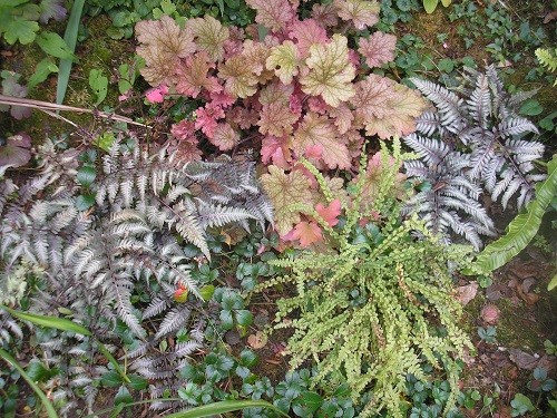 A group of three ferns and a heuchera.