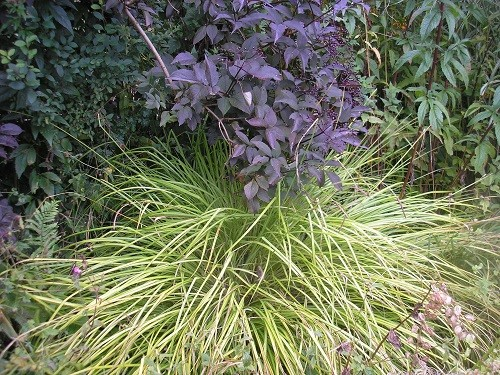 Sambucus Black Lace and Bowles Golden Sedge.