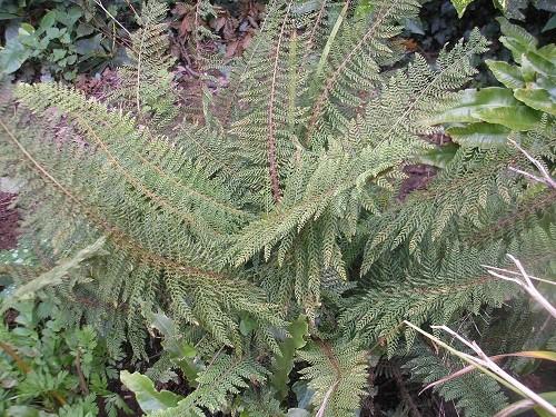 Polystichum setiferum divisilobum.