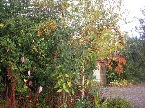 Last but not least, I'll finish with the front drive where nearly all the cornus leaves have now dropped but the cherry is hanging on to its leaves for now.