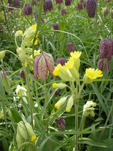 Fritillary and cowslip