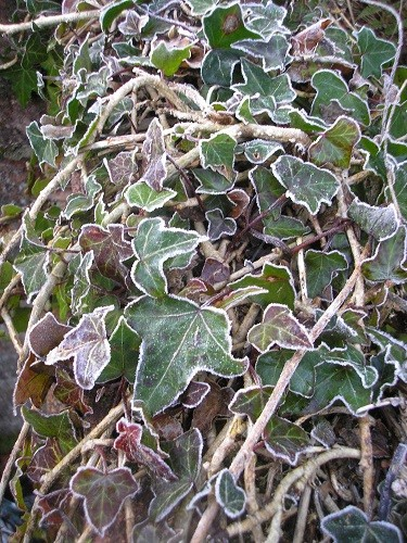 Not variegated ivy, just ivy with an edging of frost.