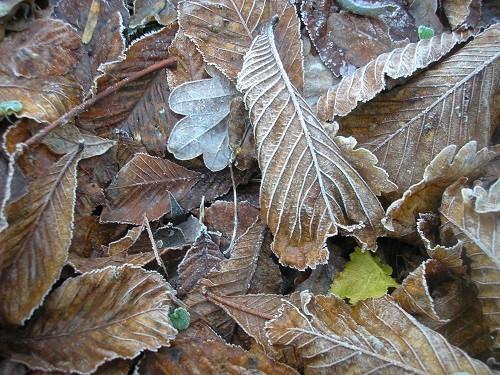 Part Horse Chestnut leaf.