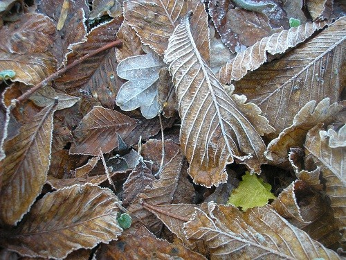 Horse Chestnut leaves.