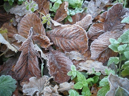 Frost and leaves
