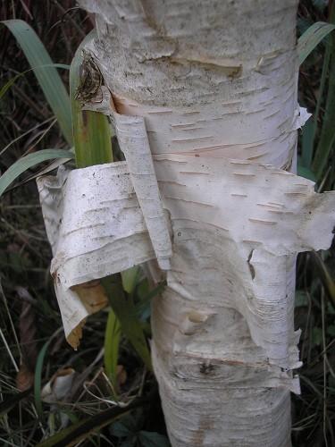 Betula jaquemontii