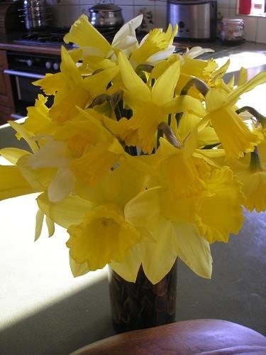 Indoor daffodils