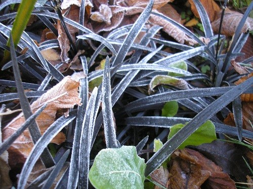 Ophiopogon frosted