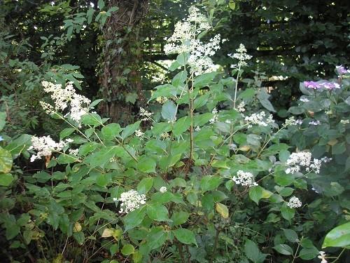 Hydrangea paniculata Kyushu.