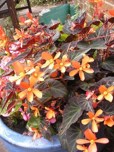 Begonia Glowing Embers.