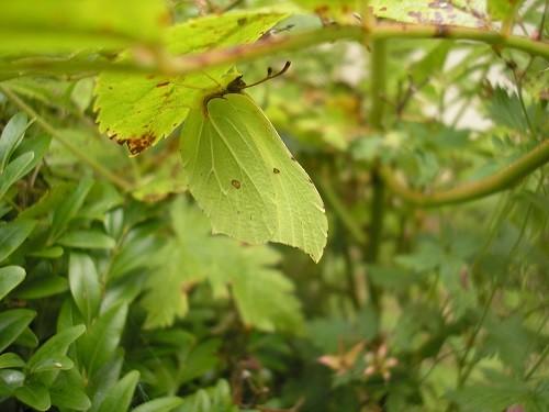 Brimstone butterfly.