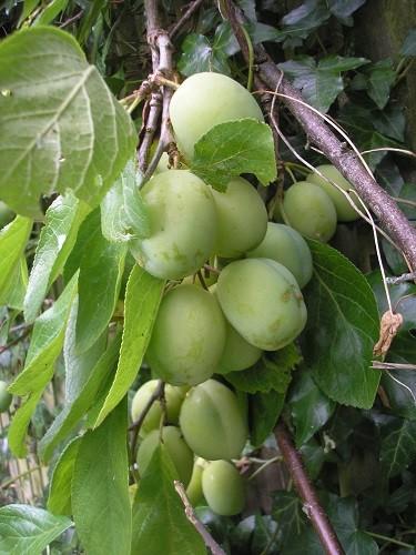 Victoria plums.