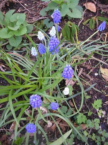 Some muscari have come up white and some pale blue like Valerie Finnis. They weren't bought as a mixed bag but I like the variety.