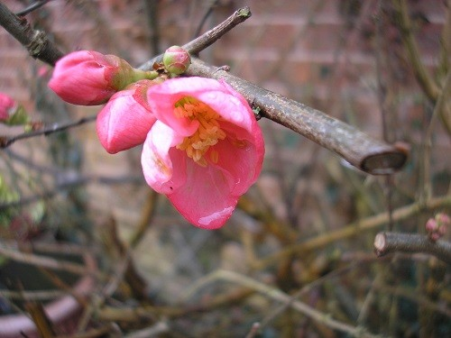 Starting by the back door, the Chaenomeles is still flowering and has been for months now. Not quite so many flowers, but still plenty of buds.