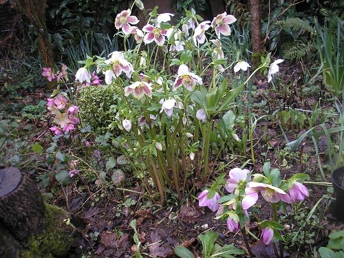 Hellebores in the front by the drive.