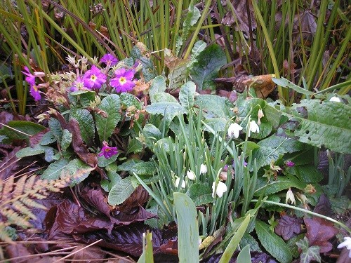 Moving round to the back garden, snowdrops and Primula.