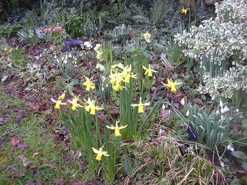 Flowerbed in front of the woodland with snowdrops, hellebores, narcissus, cyclamen and pulmonaria.
