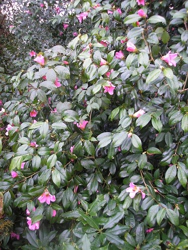 Camellia which has been flowering since December.