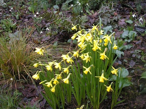 Narcissus Tete a Tete in the Rhododendron bed.