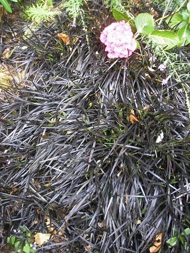 Ophiopogon planicapus nigrescens