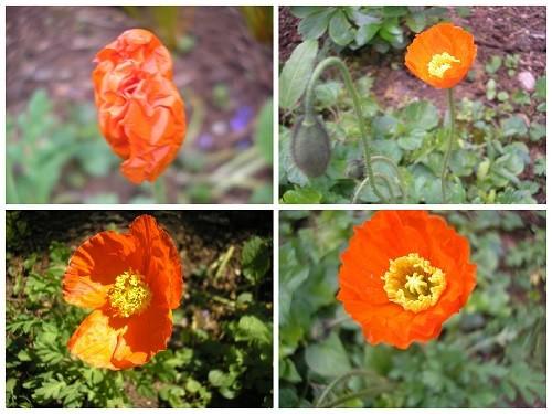 Poppy Garden Gnome.