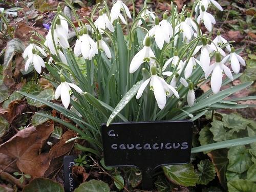 G. caucasicus