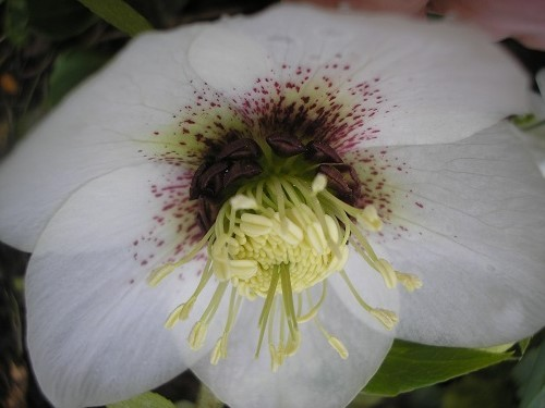 Hellebore anemone centred