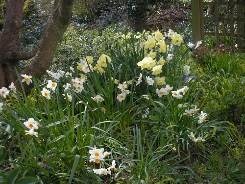 various narcissus