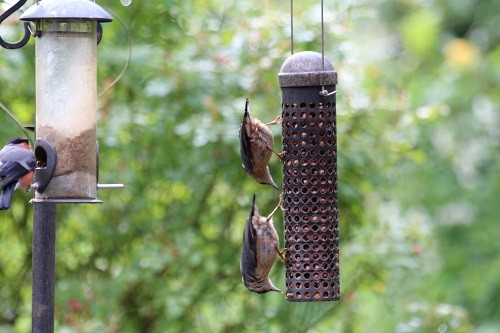 Pair of Nuthatches.