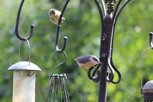 Baby Nuthatch.