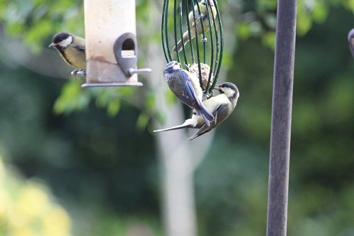 Adult Gt. Tit on the left with Baby Gt Tit on the right with adult Blue Tit.