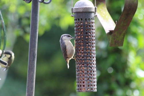 Baby nuthatch hasn't realised that nuthatches eat upside down.
