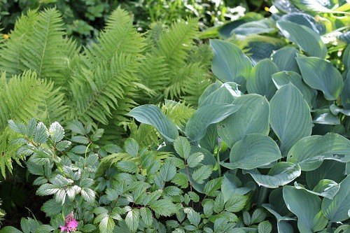 I like to go for combinations of different foliage, hosta with ferns and astilbe.