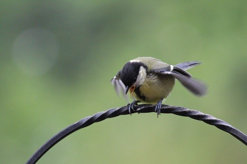 baby Gt. Tit begging for food.