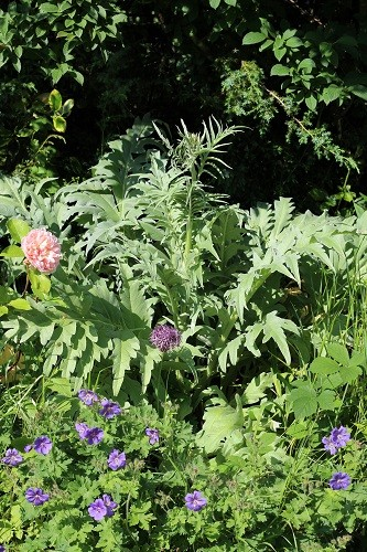 Cardoon contrasting with everything around it.