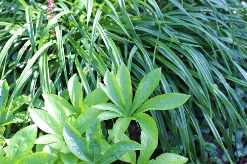 Hellebore with foliage of Hemerocallis.