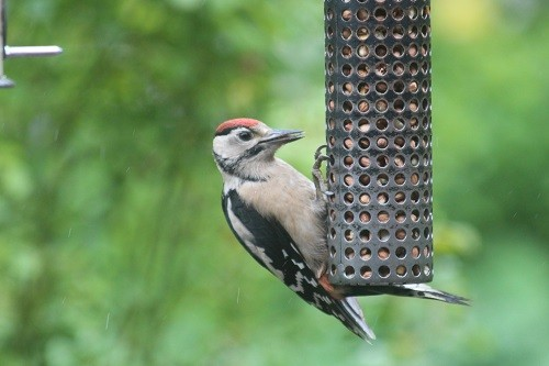 Young Gt. Spotted Woodpecker