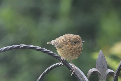 We now have a baby Robin coming for food each day now, such a lovely little speckled bird.