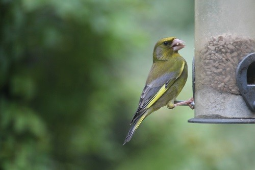 Male Greenfinch, the female is more brown.