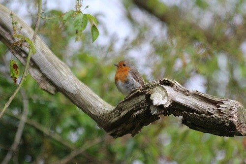 I found the adult robin half way up the dead oak.