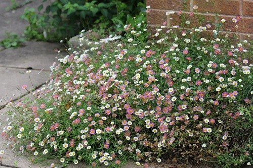 Erigeron karvinskianus has put itself here at the corner of the house. This is a seedling of the one that died where I planted it!